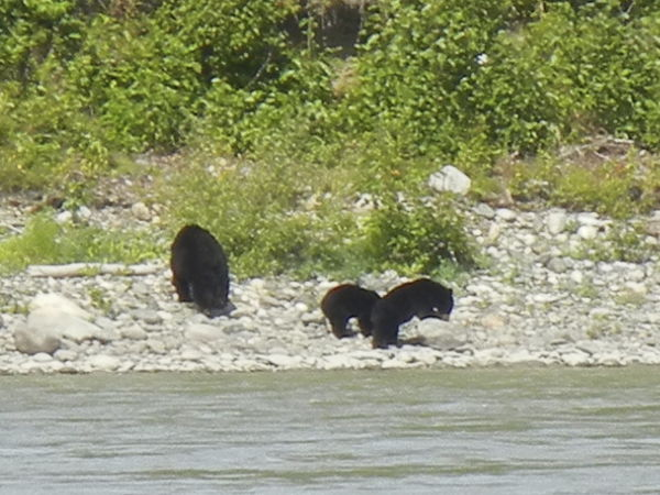 a bear with 2 cubs